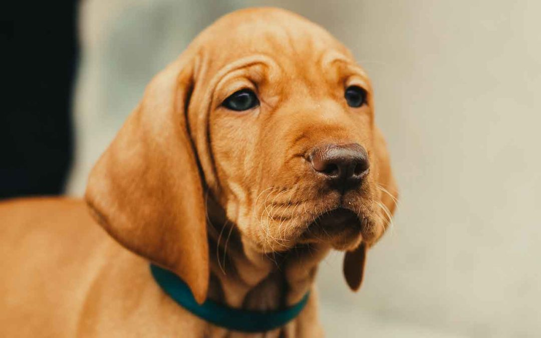 Hundebegegnungen mit dem Vizsla