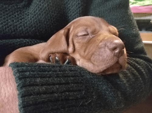 Magyar Vizsla Welpe schläft auf dem Arm