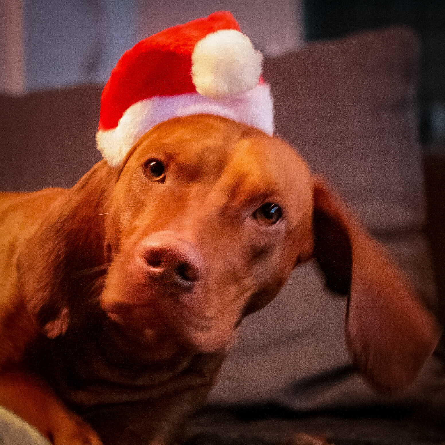 Vizsla mit Weihnachtsmütze