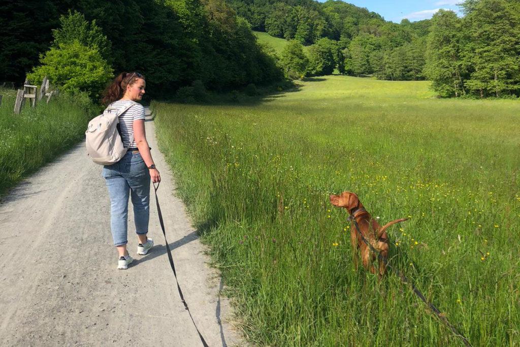 Vizsla mit Schleppleine beim Spaziergang